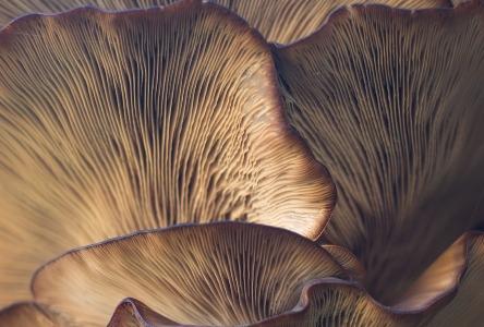 Der tibetanische Pilz